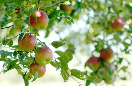 colorful: Apples in orchard