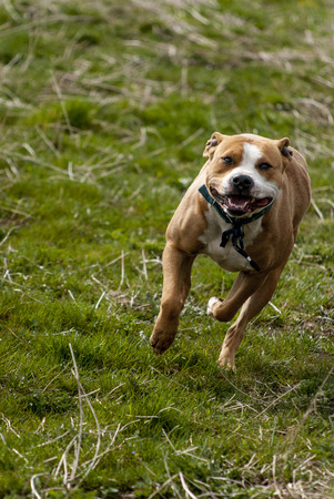 behold: Running American Staffordshire terrier on a grass Stock Photo