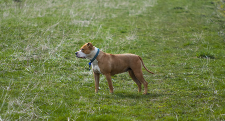 householder: Amstaff dog posing on grass field Stock Photo