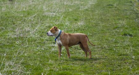 amstaff: Amstaff dog posing on grass field Stock Photo