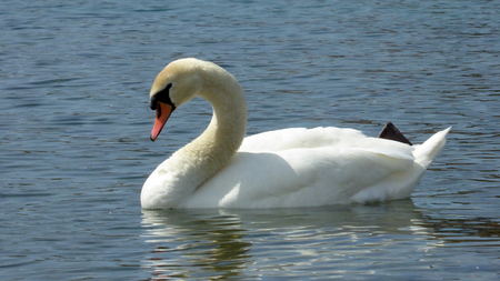 Picture of white swan birds in Lake Ohrid, Macedonia photo