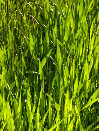 Fresh green wheat field  on a morning picture of a photo