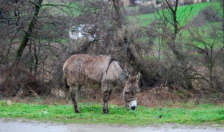dun: Poor wet donkey on the rain Stock Photo