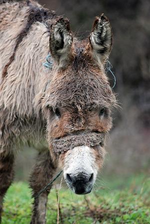 herbivorous animals: picture of a Poor wet donkey on the rain Stock Photo