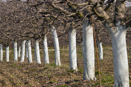copper coated: old apple orchard with trees coated with fungicide  for the protection in spring,copper sulfate , Bordeaux mixture
