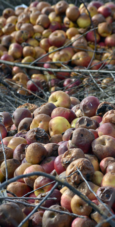 rancid: Picture of a rotten apples ,Organic pollution,soil acidification