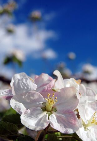 arbol de pascua: Apple blossom in april,picture of a