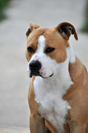 female dog: American Staffordshire Terrier, imagen perra Foto de archivo