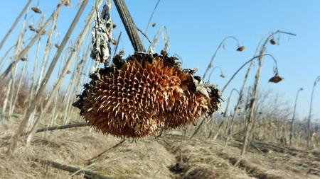 droop: sunflower droop in the field