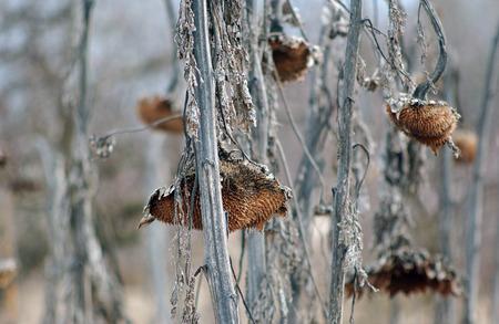sapless: Immagine di una testa di girasole appassito senza semi in inverno