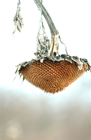 droop: Picture of a Withered sunflower head without seeds in winter