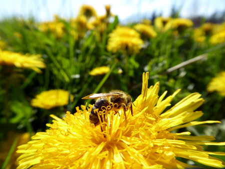 nectar: Picture of a bee colecting nectar  on a yellow flower