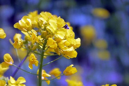 菜種の花と日差しの中で蜂