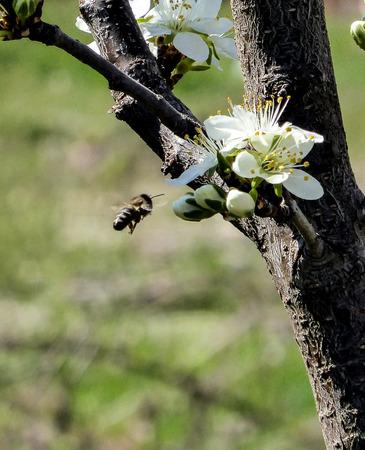 polen: Bee fly to Apple  in bloom