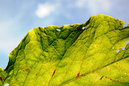 venation: Picture of a Damaged leaf by insects,macro