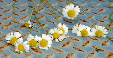 chamomiles: Picture of a fresh daisy flowers , chamomiles