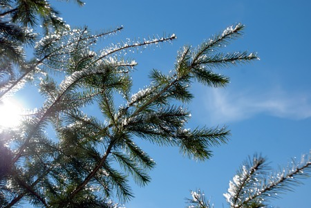 pano: Picture of a Winter Snowy Trees with sun