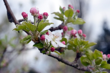 bourgeon: Picture of a Apple tree in blossom. Fruit orchard. Stock Photo