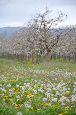 apple blossom: Picture of a Apple tree in blossom. Fruit orchard. Stock Photo