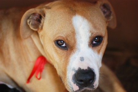 amstaff: picture of a Portrait of Amstaff female dog