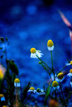 aroma therapy: Picture of a chamomile flowers. Aroma therapy concept