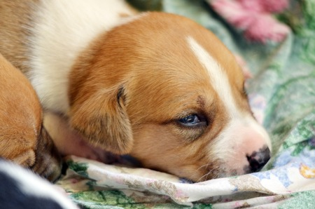 amstaff: Picture of a Cute amstaff pyppy sleeping