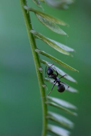 hormiga hoja: Imagen de la hormiga en una hoja verde