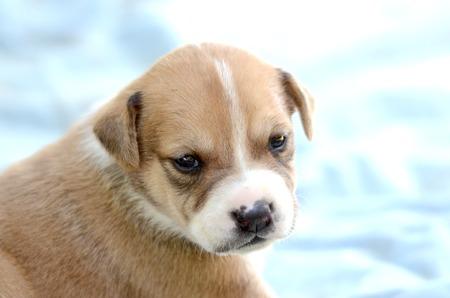 amstaff: Cute amstaff puppy