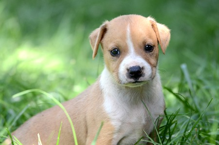 amstaff: Cute amstaff puppy. One month old. Stock Photo