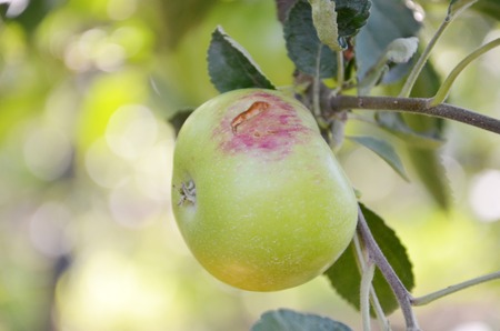 hail: Picture of Apples damaged by hail storm
