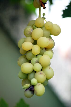 thorough: Picture of a ripe  grapes ready to be harvested