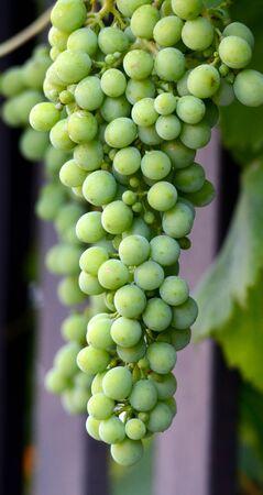 unripe: Picture of a Green unripe grapes. Food concept
