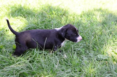 american staffordshire terrier: Cute American Staffordshire Terrier dog