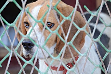 occhi tristi: Sad eyes of a cute beagle behind the fence Archivio Fotografico