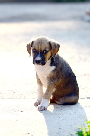 amstaff: Picture of a Cute amstaff puppies
