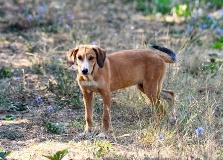 Posavac hount dog from Croatia,posavski gonic Banque d'images