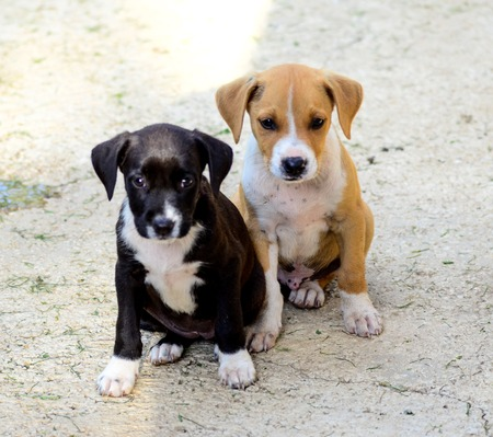 amstaff: Picture of a Cute puppies of Amstaff dog Stock Photo