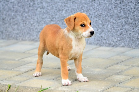 Pictrure of a Cute amstaff pyppy