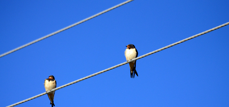 power lines: Barn Swallows on Power Lines Stock Photo