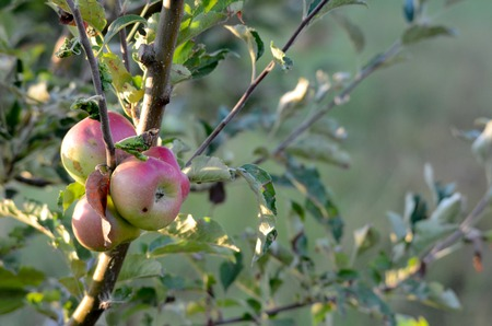 albero mele: Picture of an apples on a branch ready to be harvested