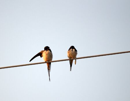 barn swallow: Picture of a Barn Swallow (Hirundo rustica) on the morning