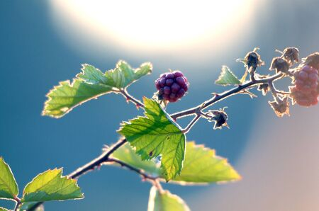 caneberries: picture of a Blackberries Growing Bush on Morning Light