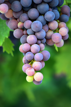 white grape: Picture of a  Grapes in the vineyard , winery, wine, morning,
