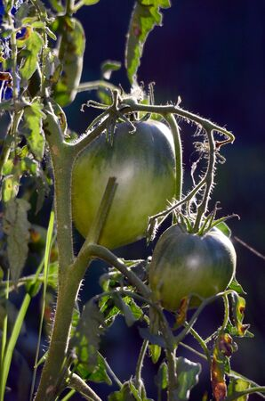 plant growth: Picture of a Organic tomato in a vegetabloe garden