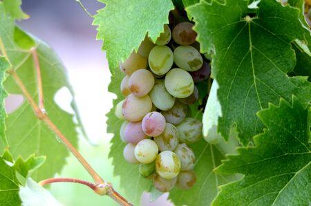 white grape: Picture of a White grape in wineyard Stock Photo