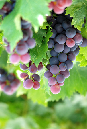 grape vines: Picture of a Ripe grapes ready for harvesting