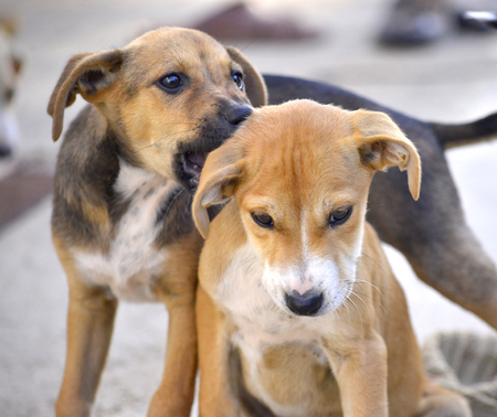 amstaff: Cute Puppies of Amstaff dog, animal  theme