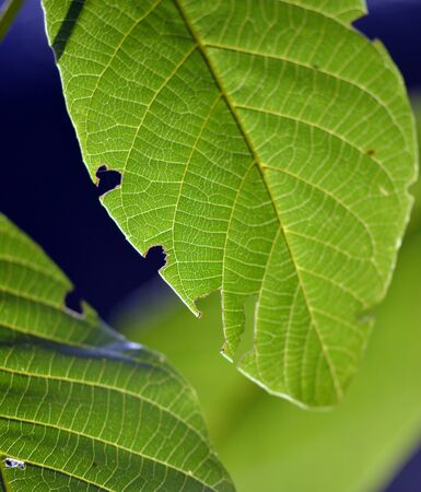 walnut tree: Green leaves of walnut tree on a sunrise light