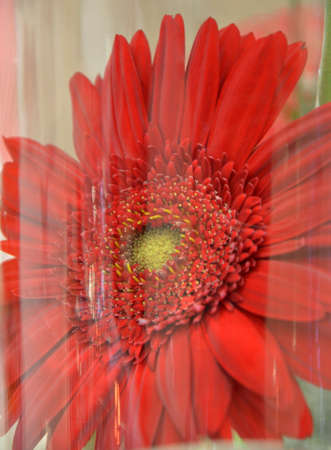 gerbera daisy: picture of a Gerbera Daisy Under the  Plastic Stock Photo