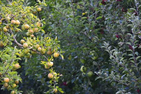 apfelbaum: Picture of an Apple Orchard. apple harvesting